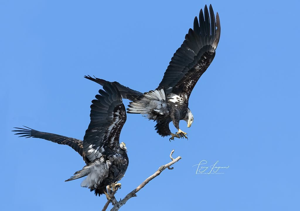 Photo of eagles from Terry Ingram
