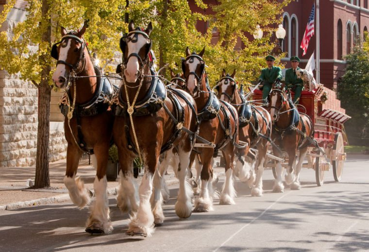 Famous Budweiser Clydesdales to prance into Fremont