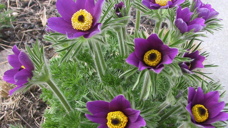 This Native Flower Is An Easter Bloomer Lifestyles Omaha Com