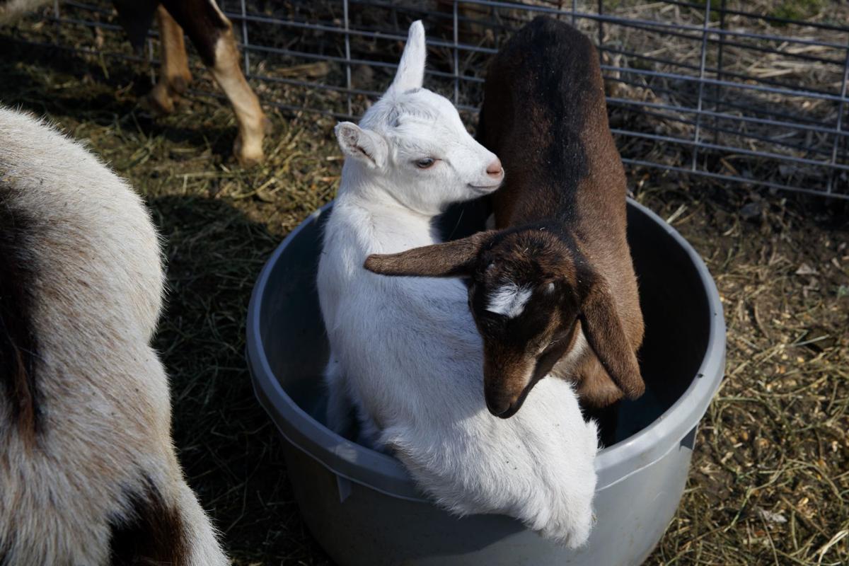 Meet baby goats