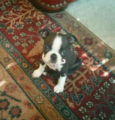 Boston Terrier Puppy Won T Stop Chewing