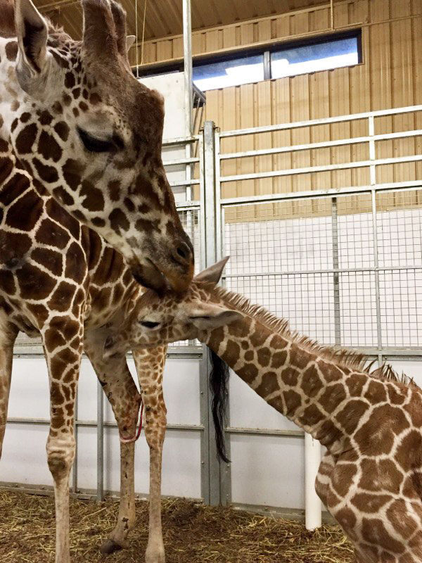 Giraffe Calf Was Born Sunday At Omaha S Henry Doorly Zoo