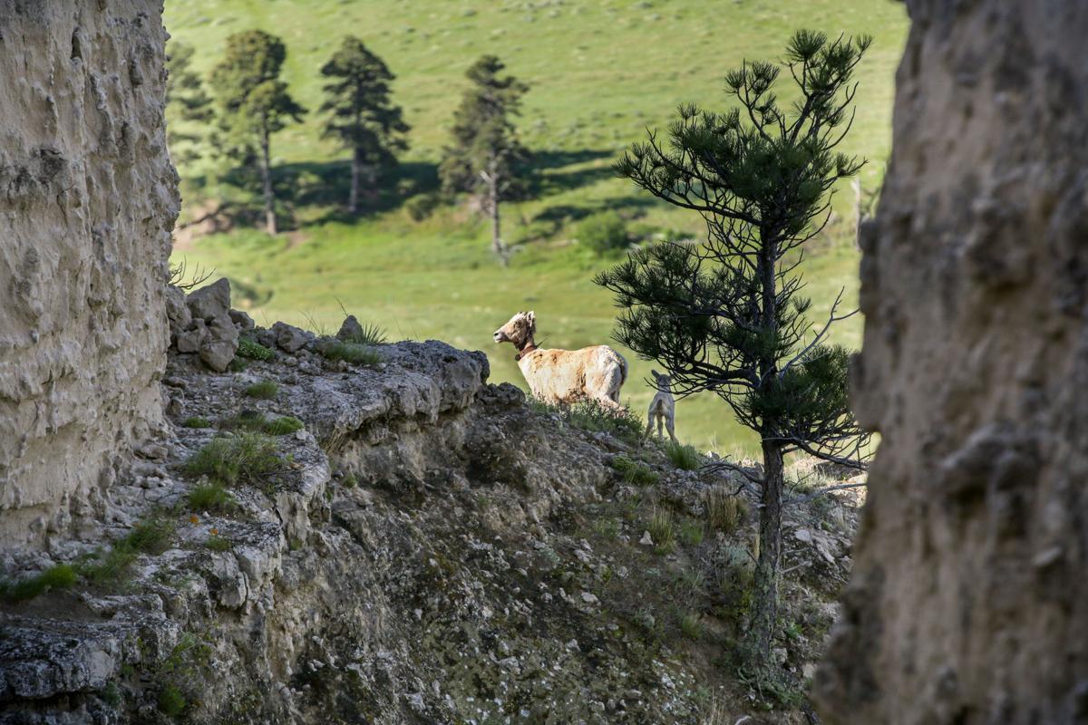 Biologists track bighorn sheep in northwest Nebraska as