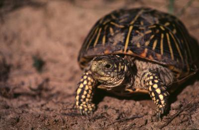 Voting is over. Nebraska's official state reptile is...