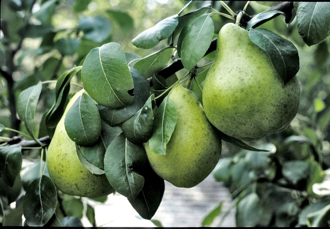 A pair's needed if you're growing pear trees