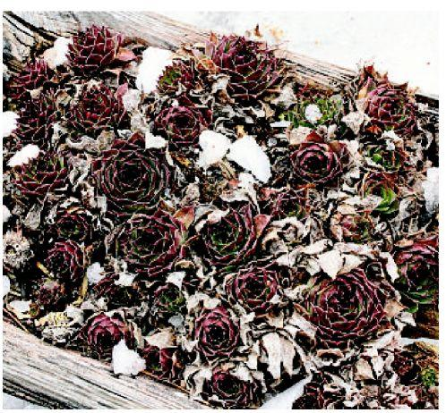 Hardy hens and chicks can handle harsh Midwest winters