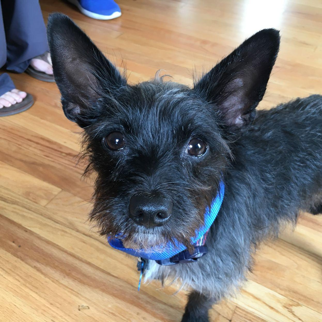 Dog Gone Problems My Cairn Terrier Snarls When She Sees Other Dogs Blogs Omaha Com