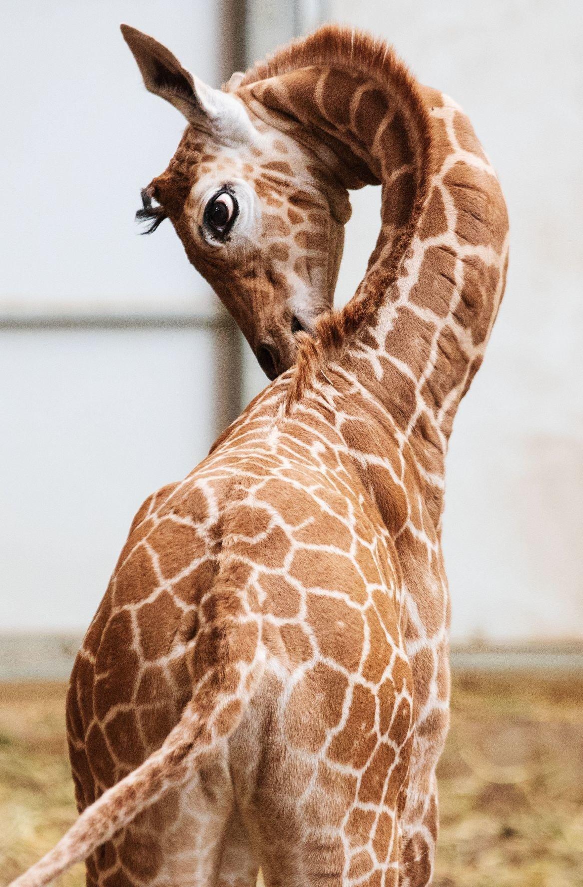 20190424_new_giraffe_pic8 (copy))))