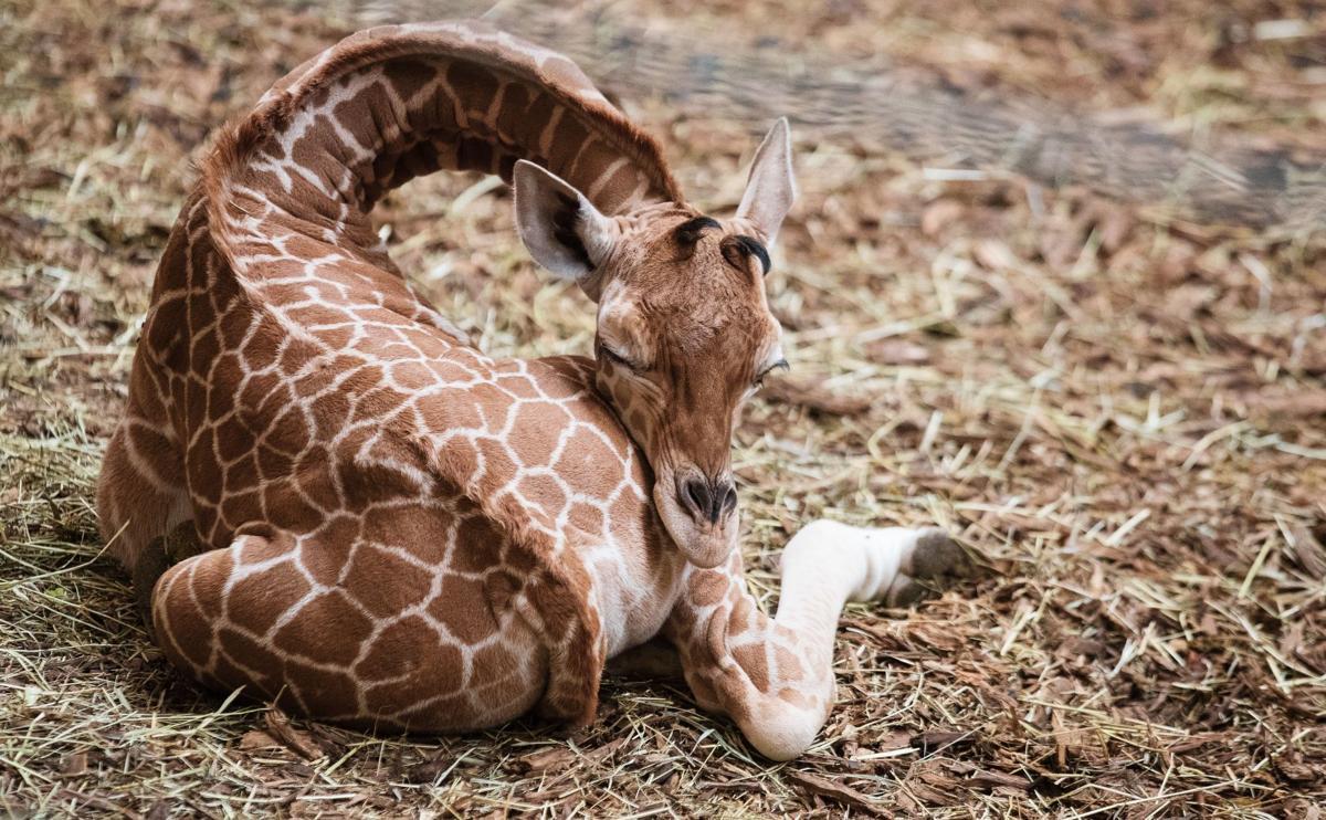 20190424_new_giraffe_pic1