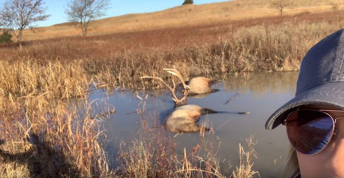 Fighting Elk Drown Locked Together In Central Nebraska Pond
