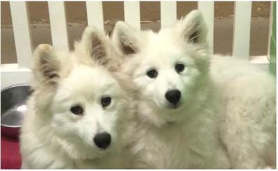 Nebraska Humane Society Is Taking Adoption Lications For Rescued Samoyeds