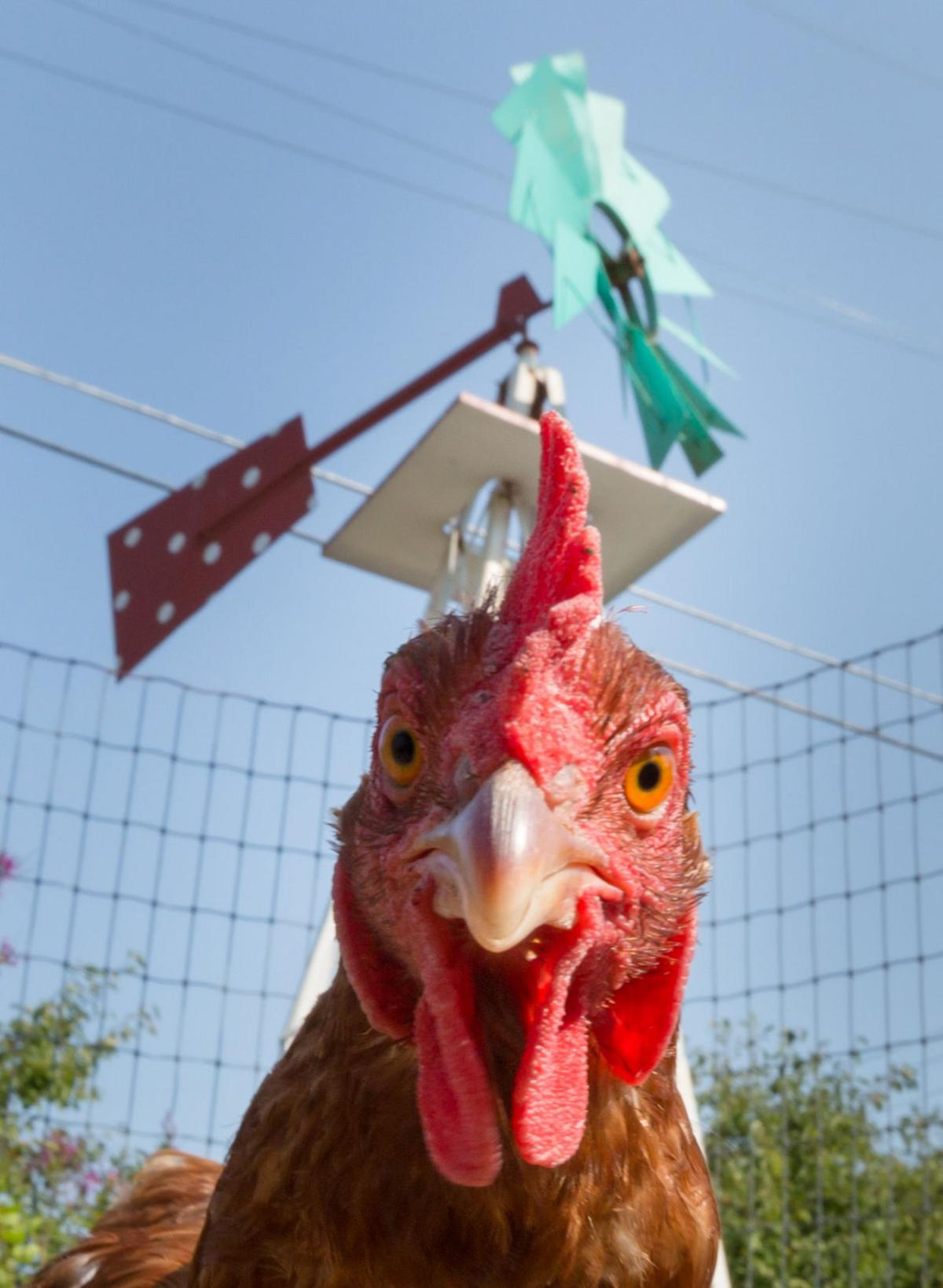 increase in salmonella outbreaks linked to live poultry reminds