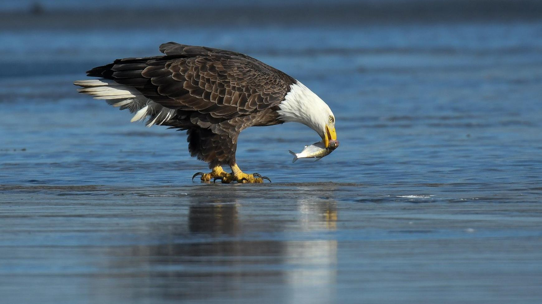 Flooded fields north of Omaha provide a 'smorgasbord' for eagles