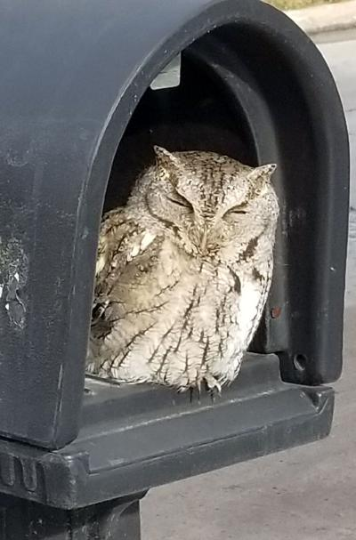unsuspecting ralston woman gets rare glimpse of screech owl during