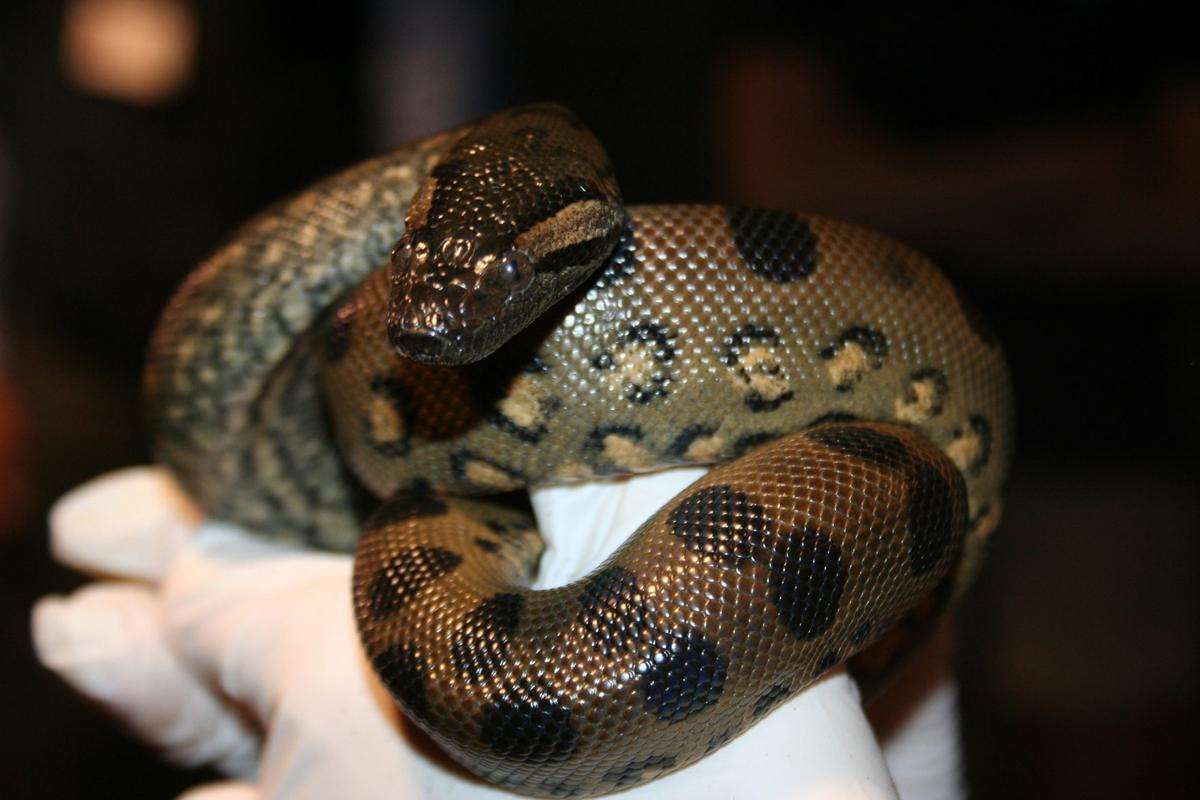 Anna the Anaconda got pregnant all by herself - by 'virgin birth'