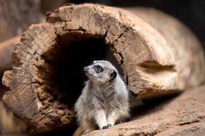 African Grasslands - meerkat