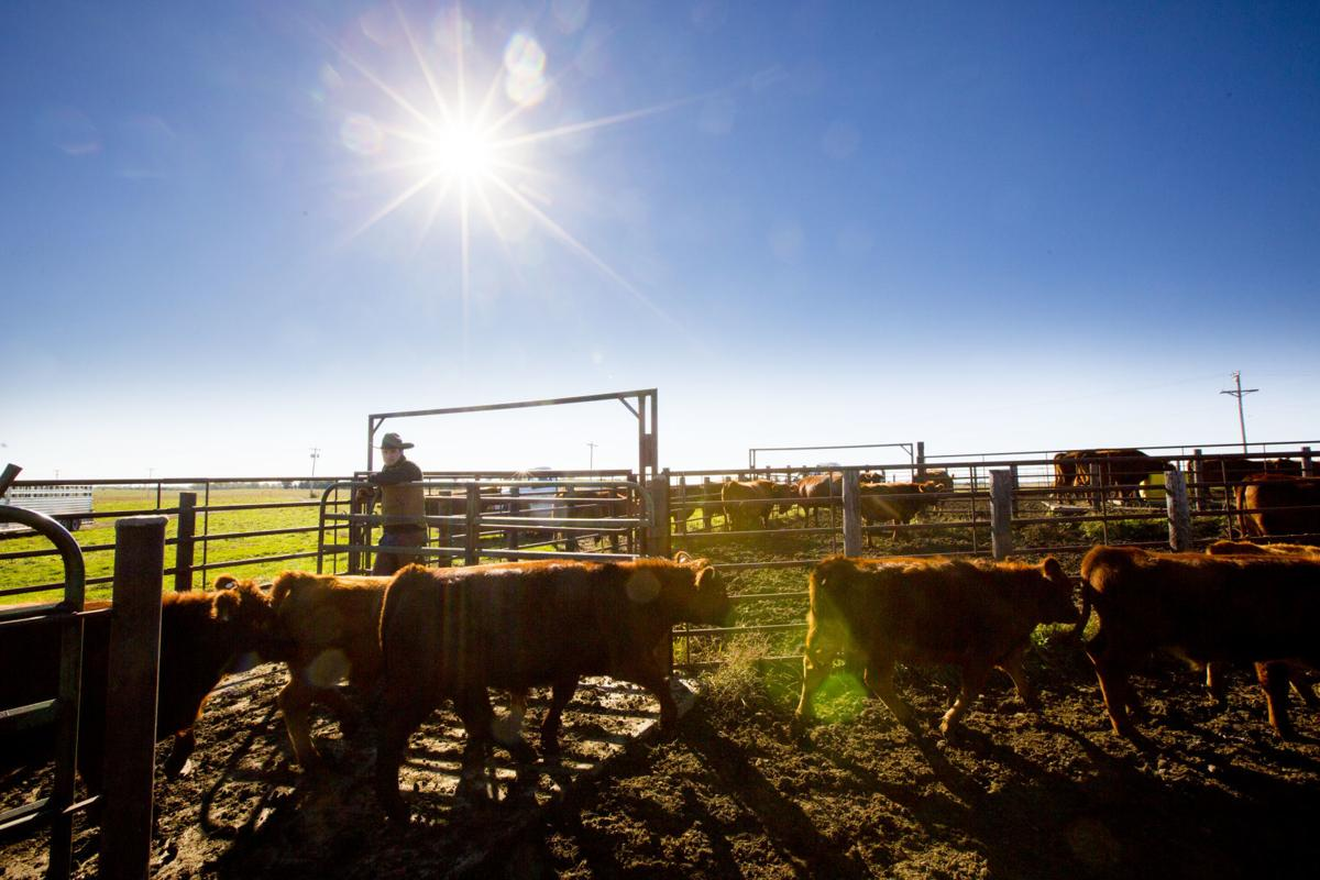 141014_Cattle_246