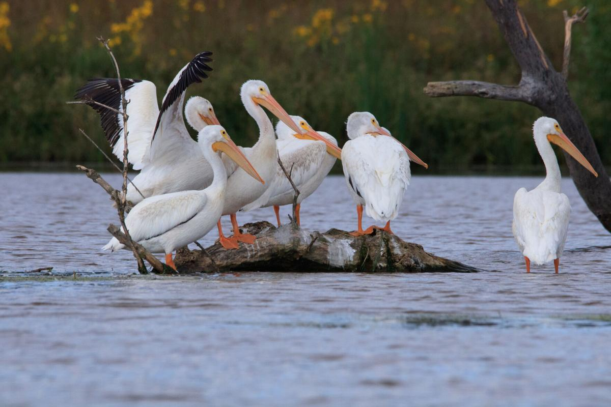pelicans at wanahoo
