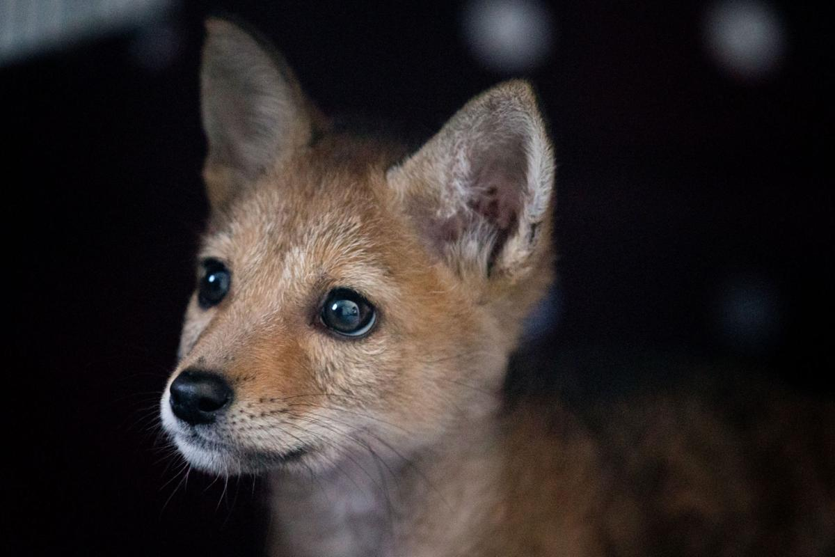 Wildlife_fox