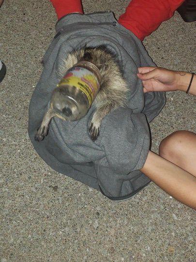 Raccoon stuck in jar