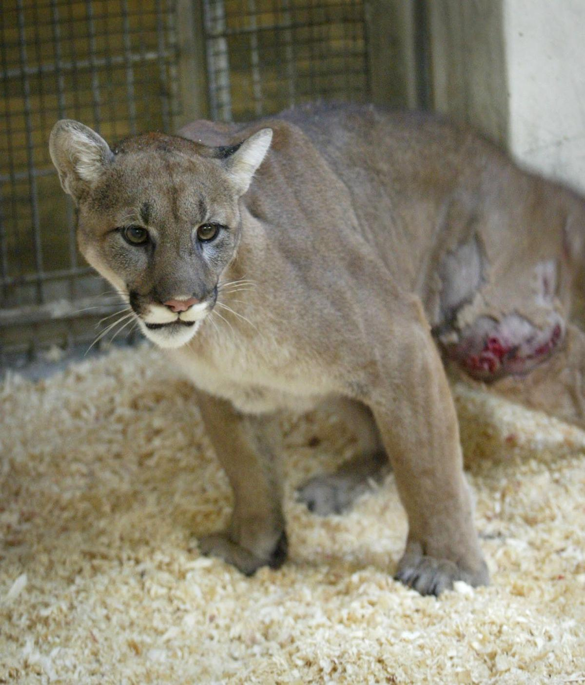 puma at omaha zoo dies animal came to zoo in 2003 after turning up
