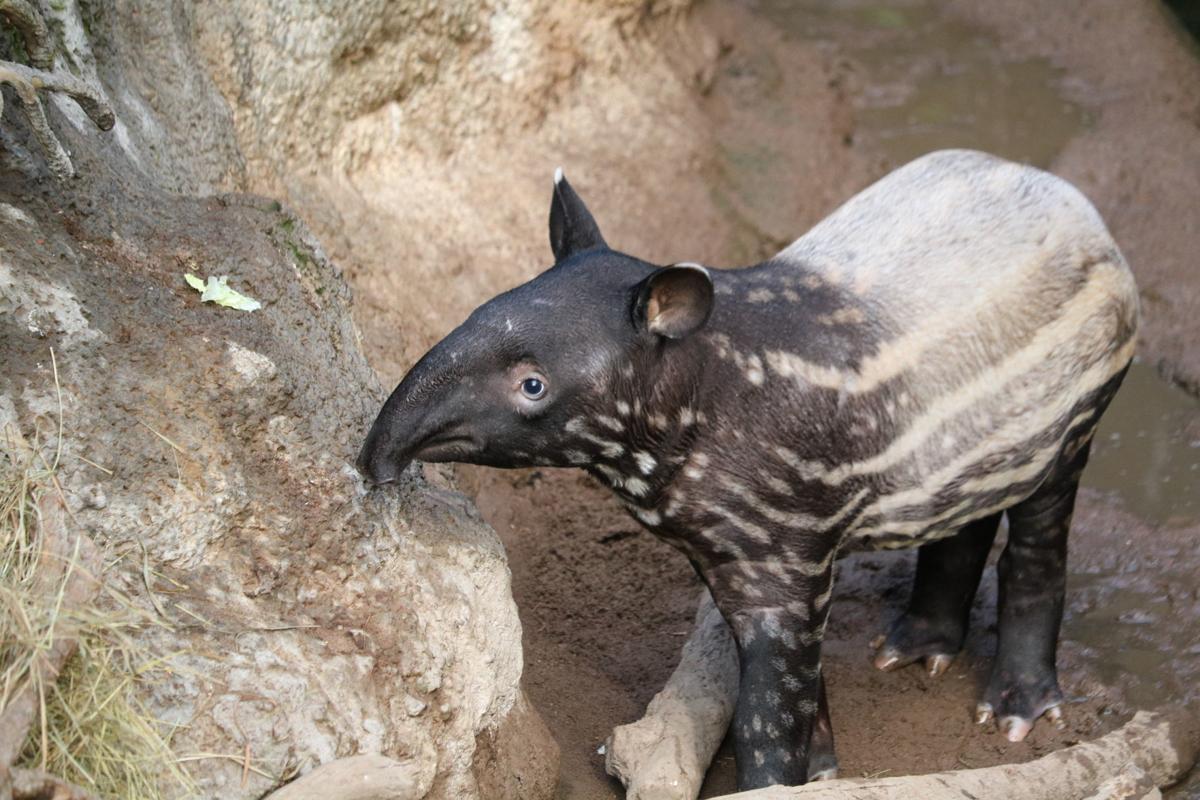 20181121_liv_tapir1
