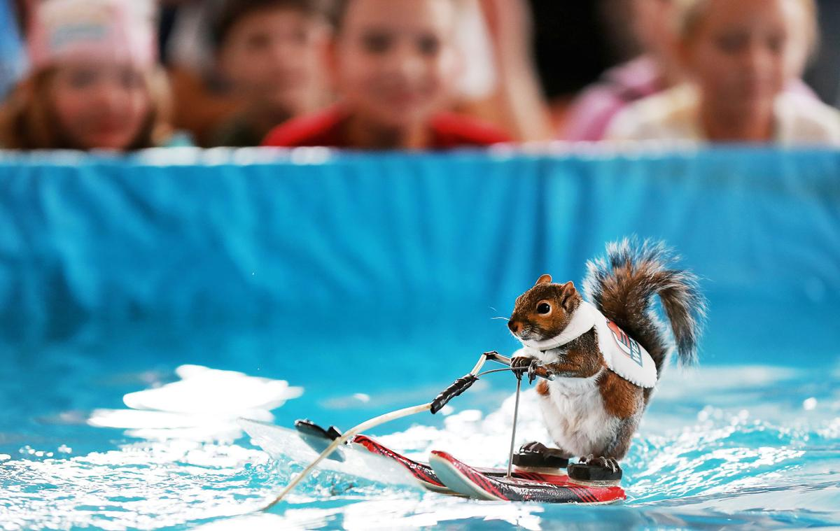 Twiggy the Water-Skiing Squirrel