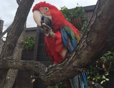 Cayenne the macaw