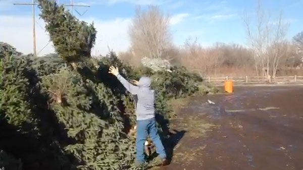 Recycling Christmas tree is easy: Drop it off, or call Boy Scouts ...