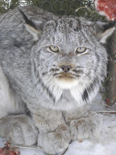 Feds propose revocation of Canada lynx protections