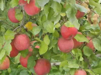 Apple maggot quarantine area extended to Methow Valley