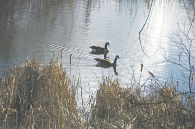 Canada geese in Johnson Creek