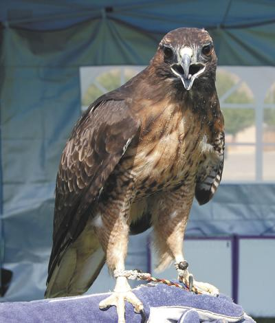 Hawk festival planned for this weekend