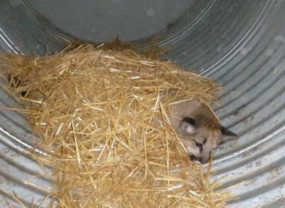 Cougar cubs captured in Oroville | News | omakchronicle com