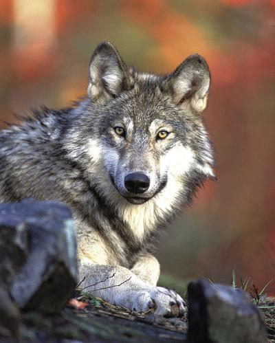 Bill would create wolf sanctuary on Bainbridge Island