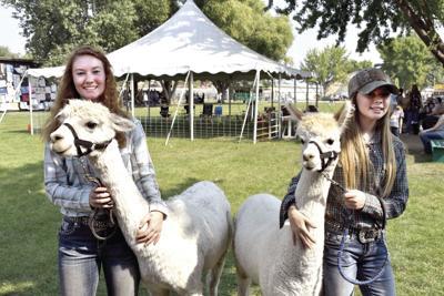 Alpacas climb to the top at fair