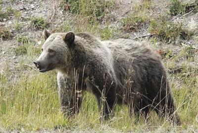 Agencies plan to take more time on grizzly decision