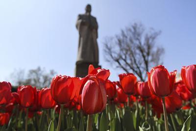 Tulipanes en Bizzell