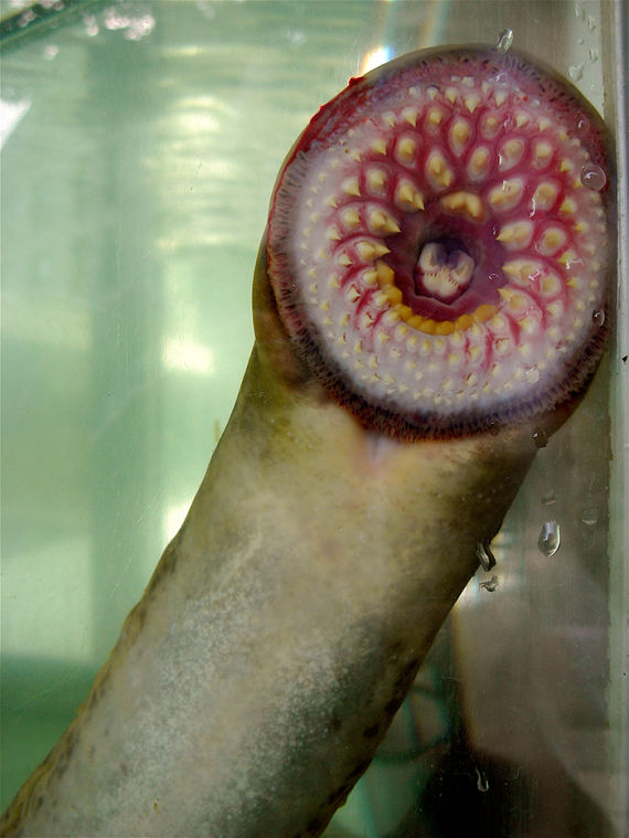 Ou Researchers Uncover Clues To Understanding Cancer In Sea Lamprey