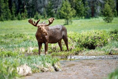 Why the booming moose population is problematic in Rocky Mountain National Park