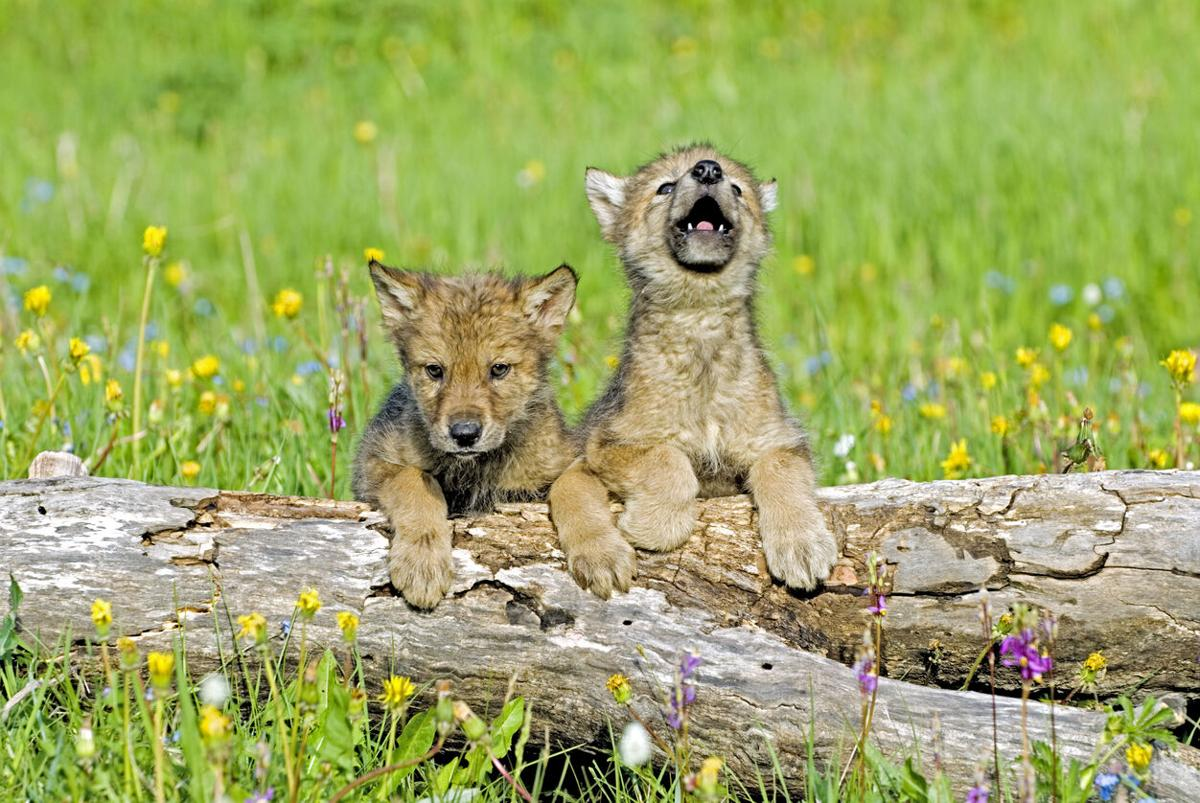 Gray wolf cubs Photo Credit: JohnPitcher (iStock).