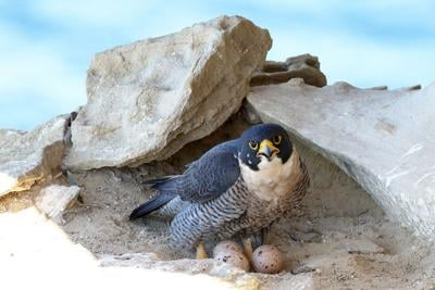 Peregrine Falcon (Photo) Credit Ken Griffiths (iStock)
