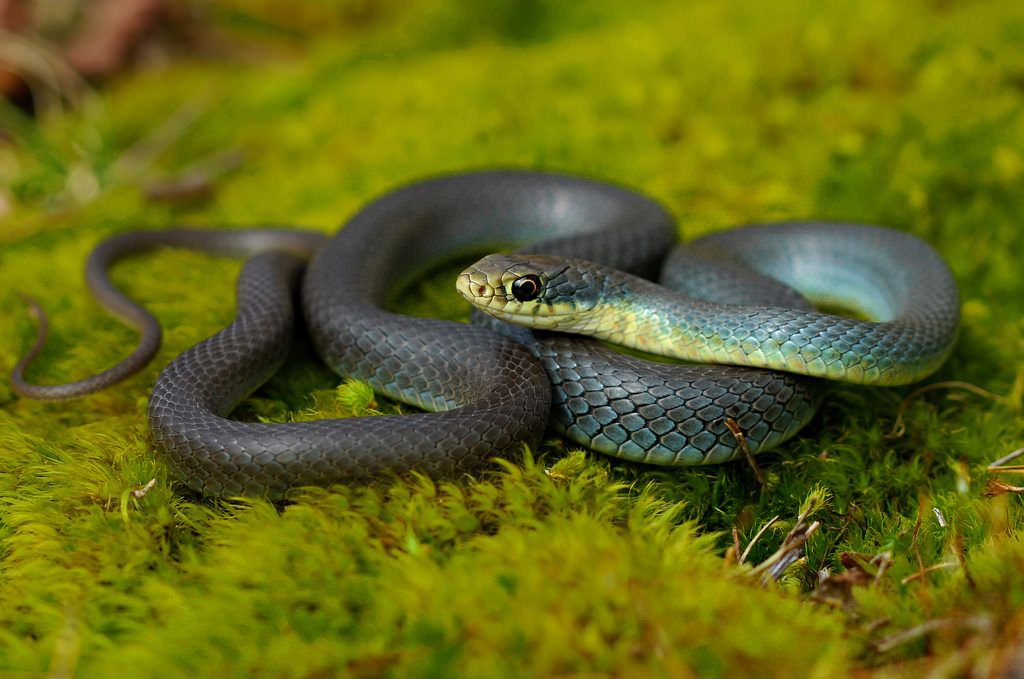 9 Snakes You'll Find in Colorado