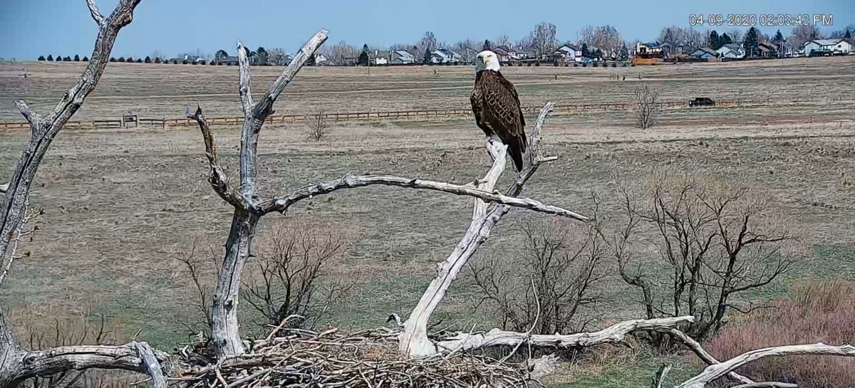 [WATCH] Bald eagle nest attacked on live-stream video in Colorado park