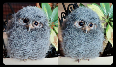 A flammulated owlet that was rescued. Photo Credit: Colorado Parks and Wildlife.