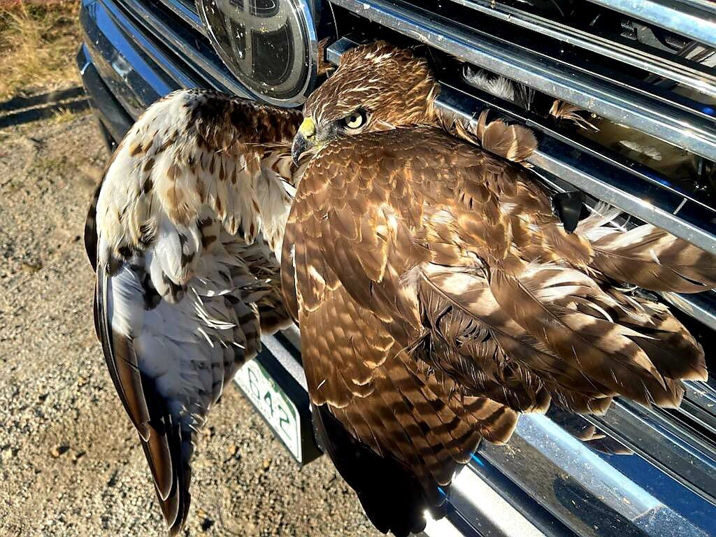 Red-tailed hawk was hit by a Toyota truck