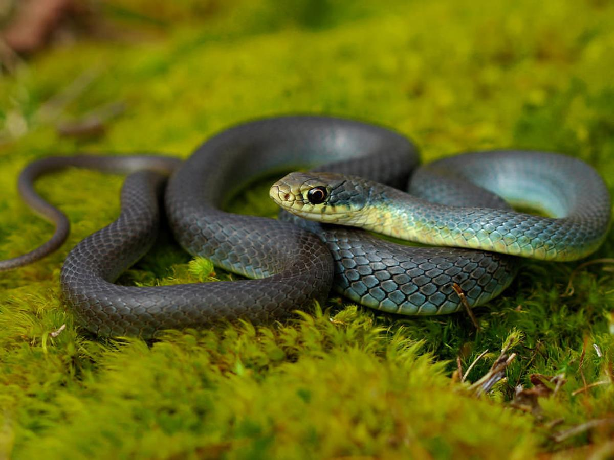 9 Snakes You Ll Find In Colorado Outthere Colorado