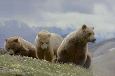 Are There Grizzly Bears in Colorado?