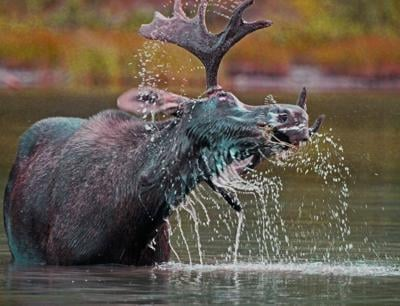 File photo of young moose. Photo Credit: Walt Snover (iStock).