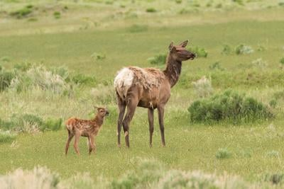 File photo of newborn elk calf with its mother. Photo Credit: mtnmichelle (iStock).